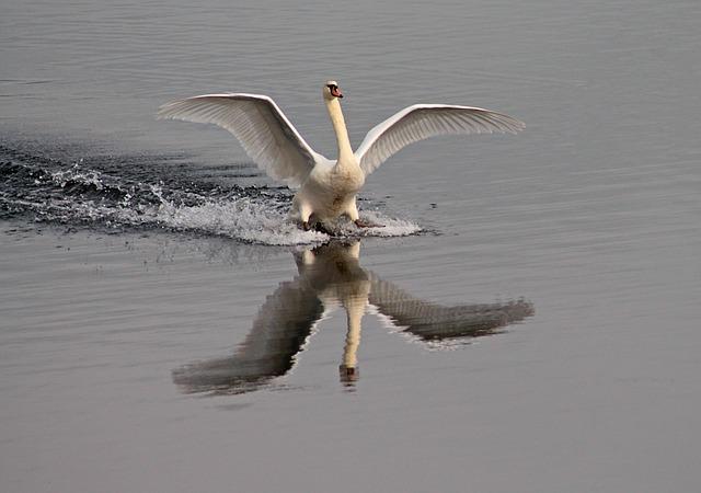 vízre érkező hattyú
